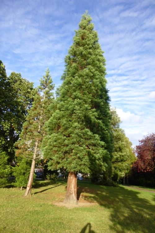 large pine tree
