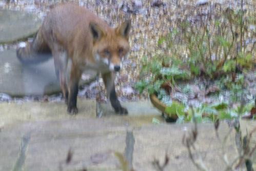 fox 002
