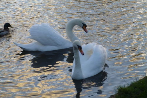 swans and cushion 006