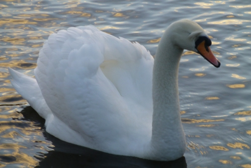 swans and cushion 007