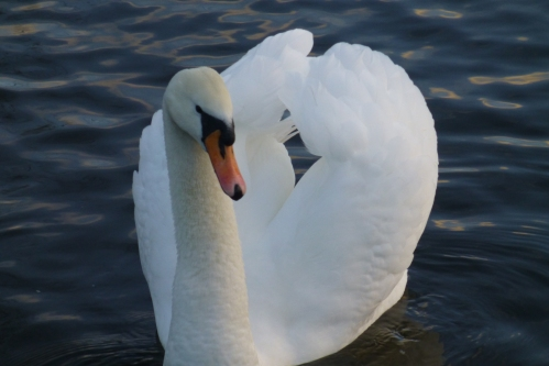 swans and cushion 008